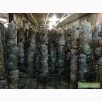 Мицелий грибов вешенка Сумы