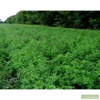 Продам рассаду мяты разных сортов. Качественный посадочный материал