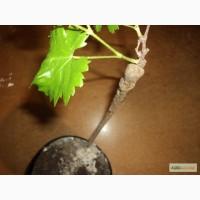 Продам привитые филлоксероустойчивые саженцы винограда