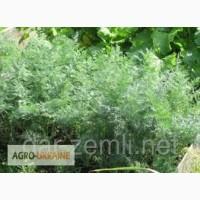 Продам семена Укропа Аллигатор - Супер плюс 2тонны не срелкует 45грн/кг оптом