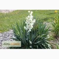 Квітка юка