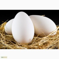 Продам инкубационное гусиное яйцо (Горькоская Белая и Легард)