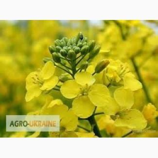 Семена рапса озимого Аляска (Круизер), Seed Grain. Доставка бесплатно