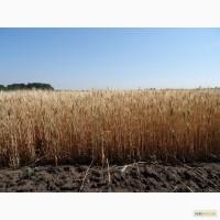 Пшеница озимая Антара
