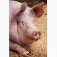 Продам домашних свиней Борщаговка хозяин