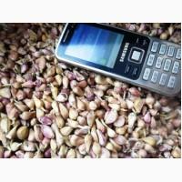 Продам ЧАСНИК, ОДНОЗУБКУ та ВОЗДУШКУ насіння озимого ЧАСНИКА для посадки