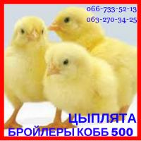 Цыплята суточные бройлеры КОББ 500