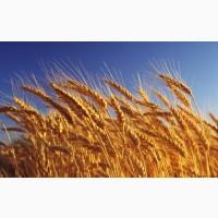 Продам Пшеница Ярая посевной матриал ( Тризо, Гранни )