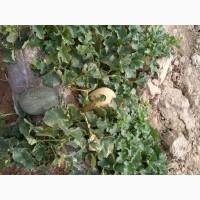 Продам арбуз и дыня из Узбекистана
