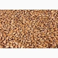 Продам пшеницю фуражну