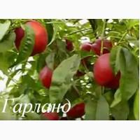 Саженцы персика и нектарина