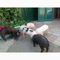 Продам свиней. порода макстер