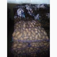Продам товарну картоплю, сорт Іван да Марья, Гранада, Велікан