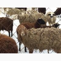 Продам ярки, овцематки гиссарской породы курдючные