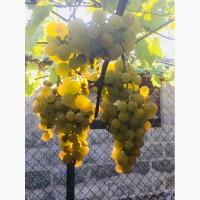 Продам саженцы столовых сортов винограда, районированных в г.Сумы