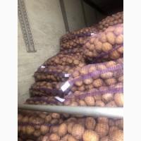 Продам товарный картофель ОПТОМ, сорт Журавинка, Аризона-элита Ред-скарлет, Бриз, Уладар и др