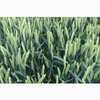 Посівний матеріал озимої пшениці ПРАКТІК (1репродукція)