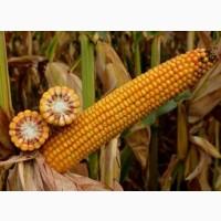 ОНІКС насіння кукурудзи ФАО 350 + безкоштовна доставка