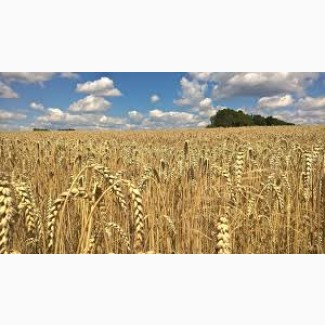 Закупаем пшеницу ГОСТ урожай 2021