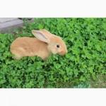 Продаю племенной молодняк кроликов бургундской породы
