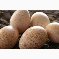 Индюшиное Инкубационное Яйцо БЮТ 8, Белая Широкогрудая, Биг6