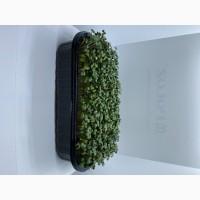 Продам Микрозелень