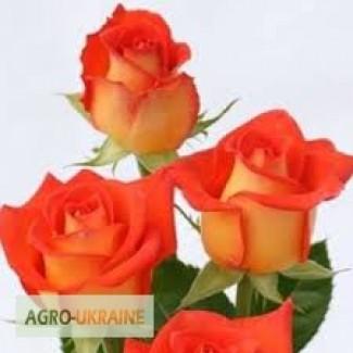 Саджанці троянд оптом