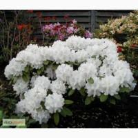 Продам Рододендрон Rhododendron