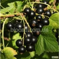 Саженцы черноплодной смородины