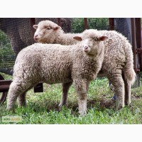 Куалю вівці оптом