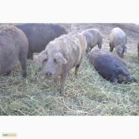 Продаж: свині (поросята) породи мангалиця (органічні)