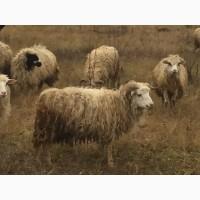 Продам баранов баран ягнят овец ярок