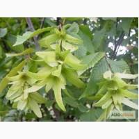 Цвет граба женский (Carpinus betulus)