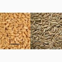 Продам пшеницю фуражну. Великими та малими партіями