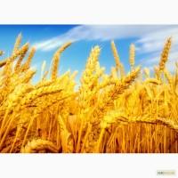 Дорого куплю пшеницу по Полтавской области