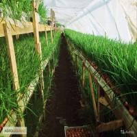 Перо лука продам от 100 кг до 15 тонн
