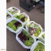 Продам салат лолло росса, лолло биондо та ін, базилик, руккола