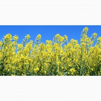 Закупаем оптом масличные культуры (Рапс продовольственный и технический)