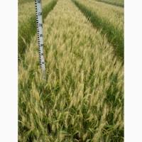 Озимая пшеница Полесская-90, элита/1 реп