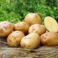 Продам насіннєву картоплю оптом сорту Рів#039;єра
