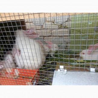 Продаю кроликов белый панон