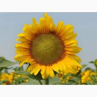 Семена подсолнечника Таурус под евролайтнинг