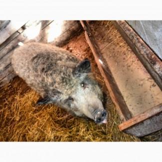 Продам свинок породы Венгерский мангал