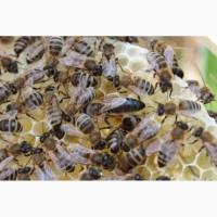 Продам бджоломатки карпатки