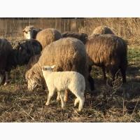 Ягнята Меринос овцы