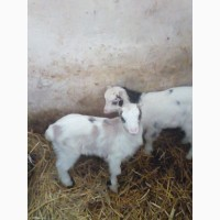 Продам козенят та козу