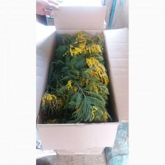Цветы мимоза