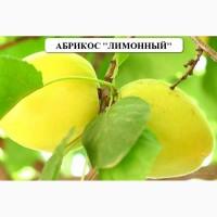 Абрикос сорт Лимонный
