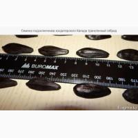 Семена подсолнечника канадский трансгенный гибрид масличного cower ft 399