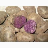 Посадочный картофель (товарный) с синей мякотью Экзотик очень ХОРОШЕЕ качество